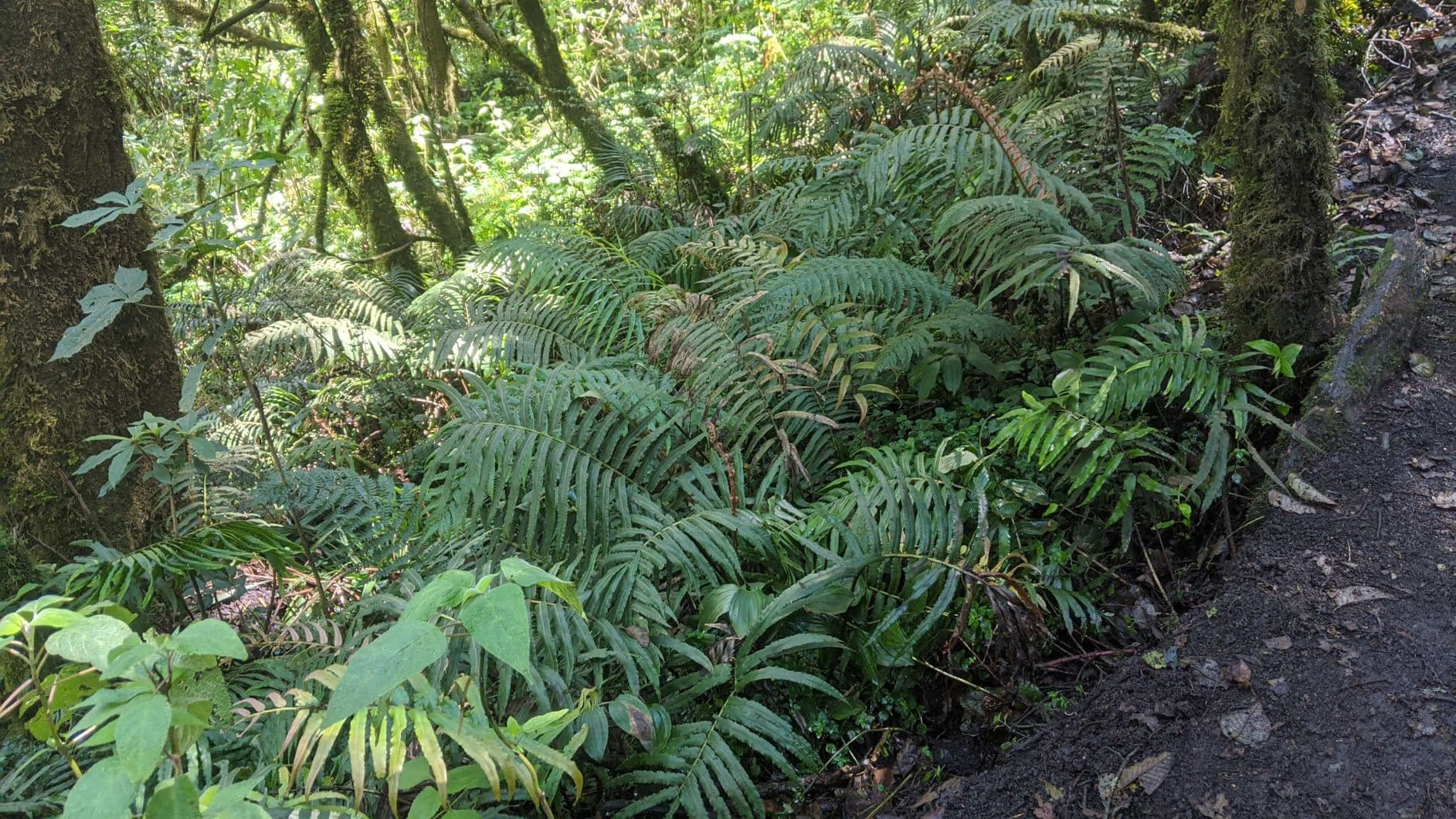 Fern forests of Acatenango Volcano