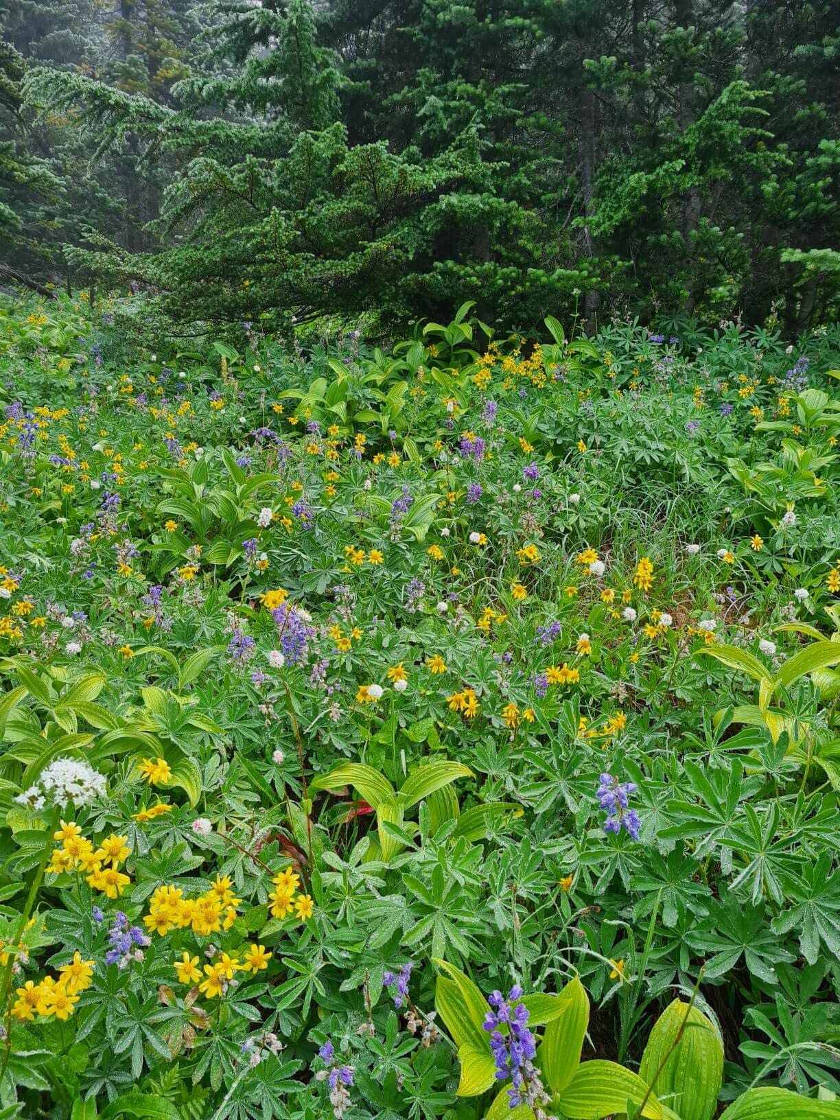 wildflowers in washington state along the Skyline Divide Trail
